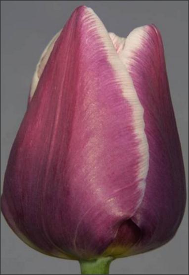 Тюльпан Арабиен