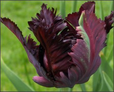 Тюльпан Блек Пэррот