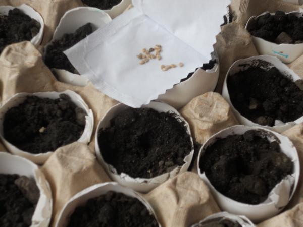Как вырастить рассаду помидоров в яичной скорлупе Шаг 7