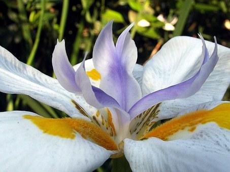 Почему не цветут ирисы Белый