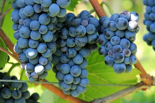 Где посадить виноград