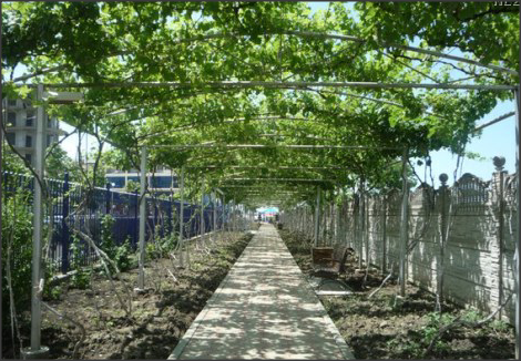 Где посадить виноград Галерея