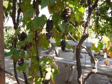 Где посадить виноград Беседка