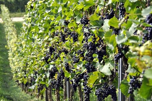 Где посадить виноград Периметр