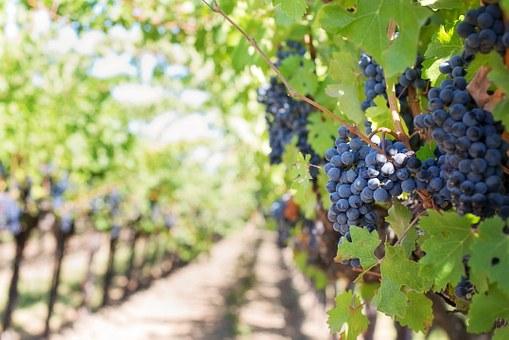 Где посадить виноград Аллея