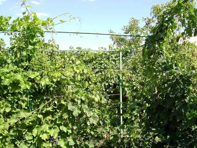 Где посадить виноград Шпалеры