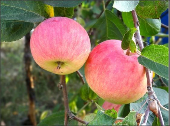 Посадка и уход за яблонями Фрукты