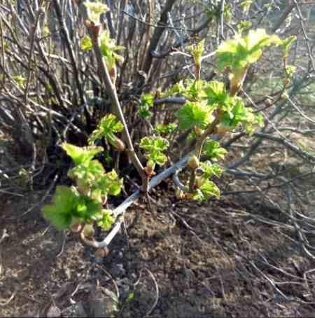 Выращивание черной смородины Смородина3