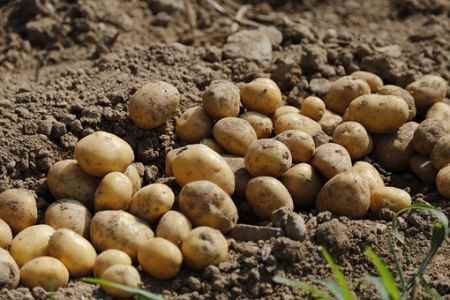 Как вырастить рассаду картофеля