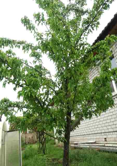 Как вырастить грушу на даче Дерево