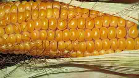 Как вырастить кукурузу на даче Семена