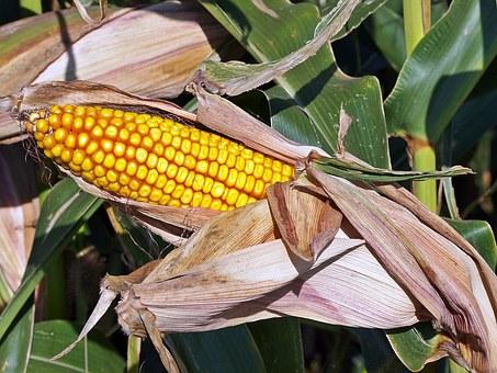 Как вырастить кукурузу на даче