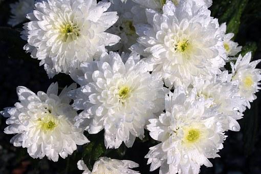 Уход за хризантемами Цветение