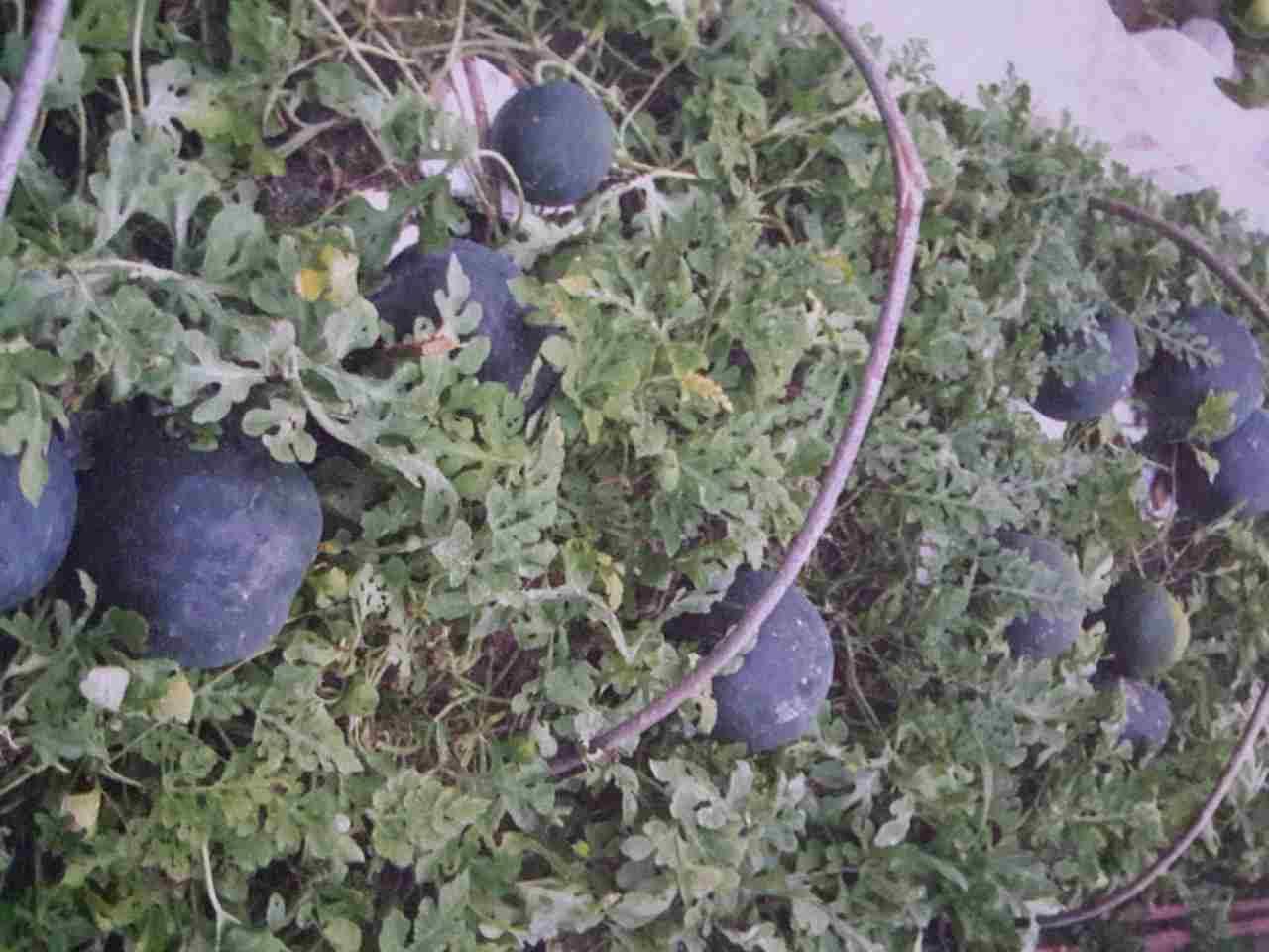 Арбузы в средней полосе