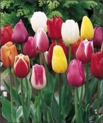 Тюльпаны Триумф