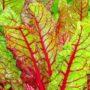 Мангольд листовой