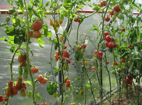 Высокорослые сорта помидоров