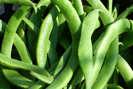 Как вырастить фасоль на даче