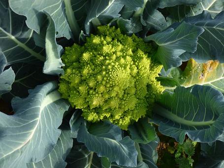 Как вырастить капусту брокколи