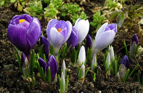 Уход за крокусами после цветения