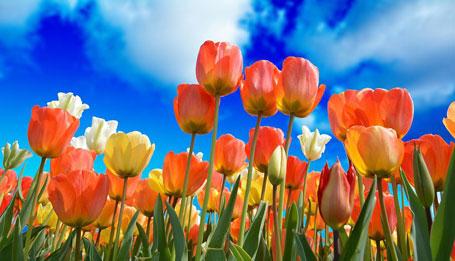 Как вылечить тюльпаны от фузариоза
