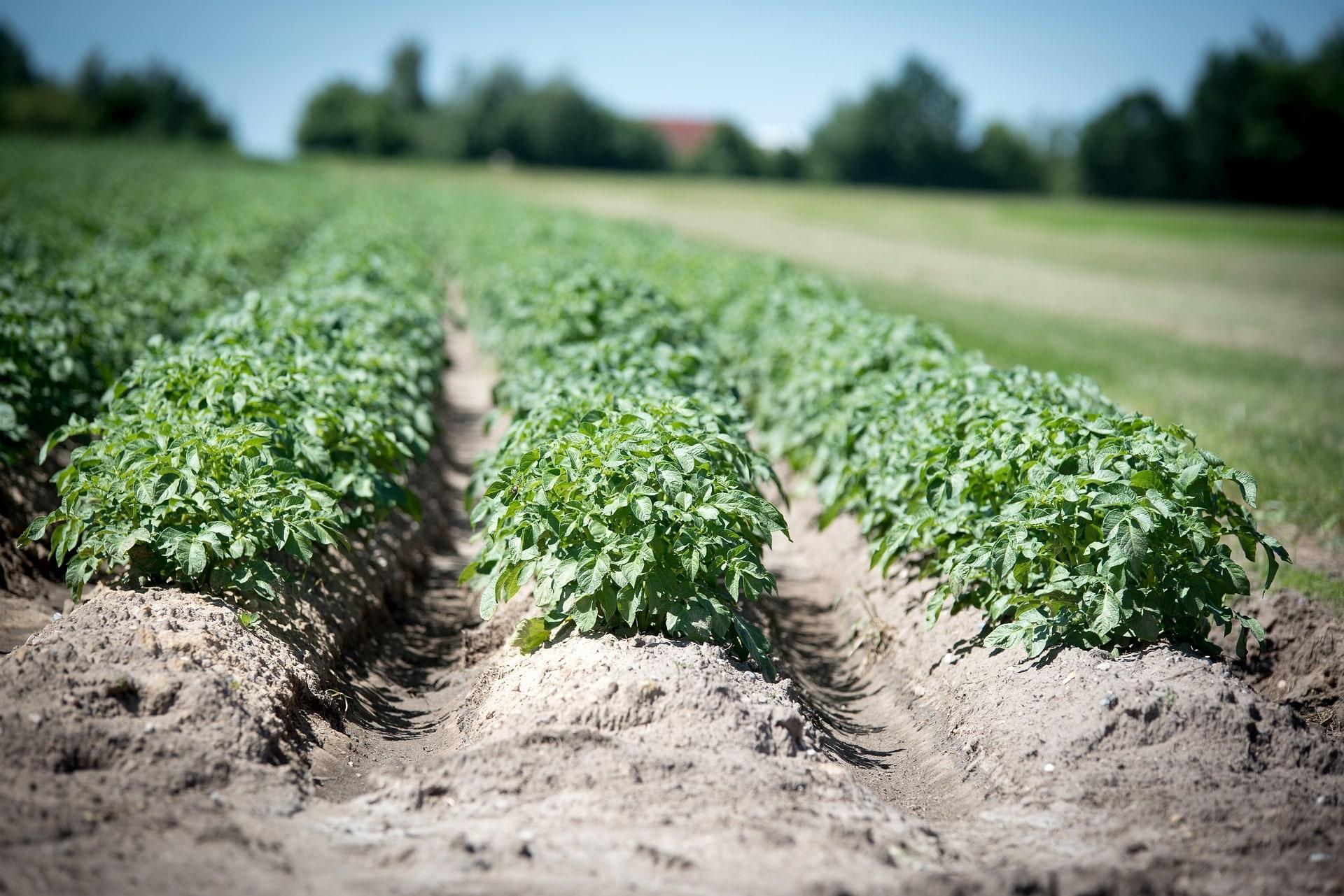Чем и как подкармливать картофель во время вегетации