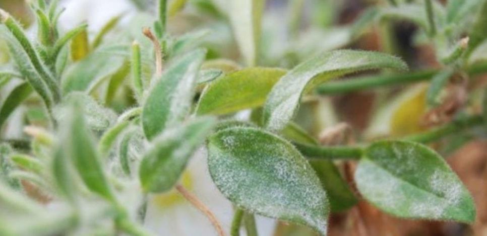 Мучнистая роса-вредитель многих растений