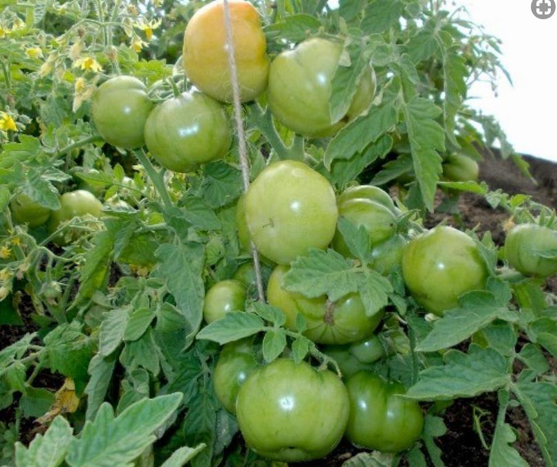 Ранние сорта томатов  лабрадор