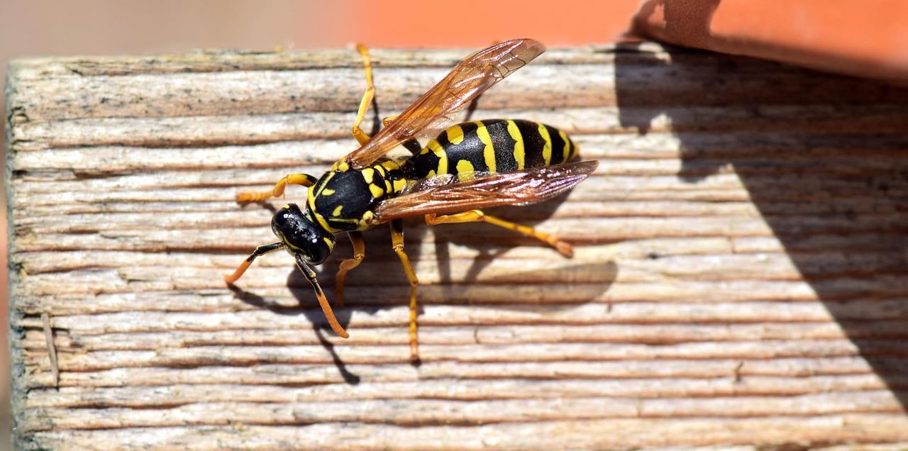 Вред ос и шершней для пчел